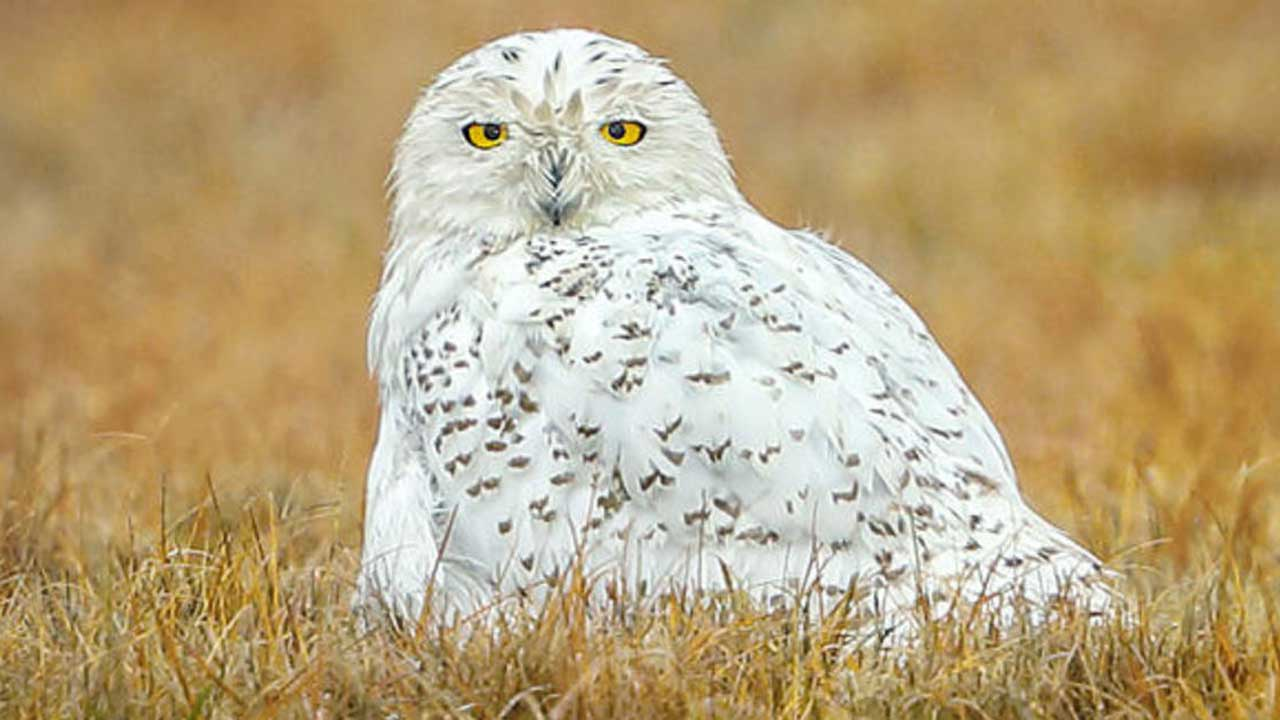 Snowy Owl Spotted In Central Park For The 1st Time In More Than A Century, Experts Say