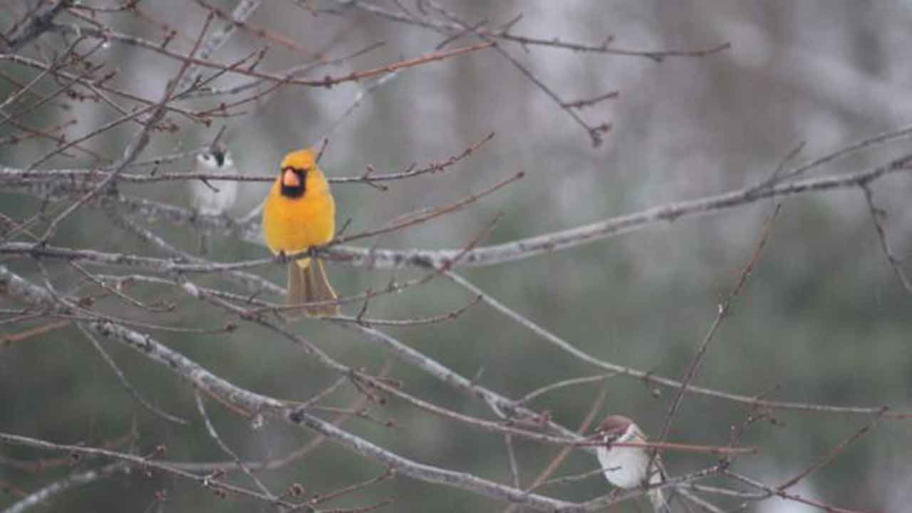 Rare Yellow Cardinal Has Been Spotted In Illinois — And There's Less Than One-In-A-Million Chance To See One, Expert Says